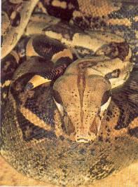 Pythons Et Boas